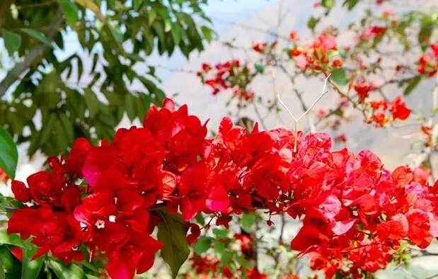 Haikou Bougainvillea-themed Park to open in 2017