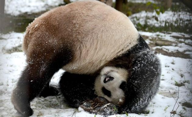 panda takes a tumble in snow