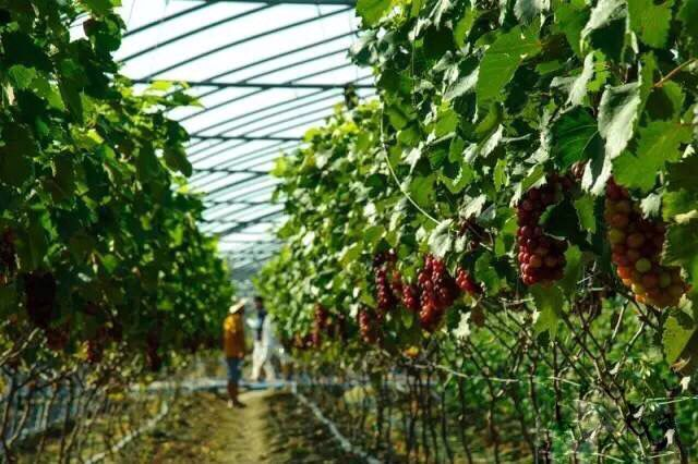 Pick grape (variety) in tropical Sanya in Yazhou District