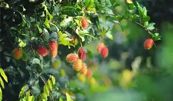 It's rambutan season in Baoting! Come & enjoy picking the fruit!