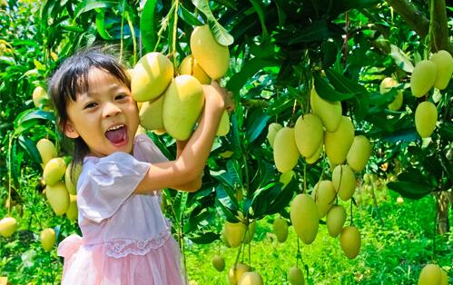 Go mango picking this summer in Changjiang, Hainan
