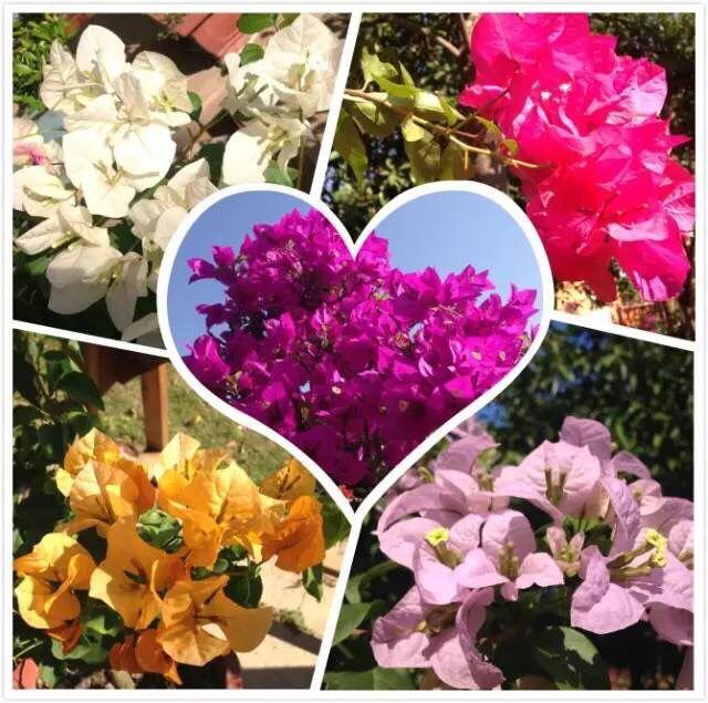 1st Hainan Bougainvillea Flower Show in Haikou Feb 1-Apr 15, 2016