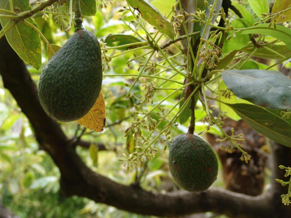 Tropical plantation: Avocado cultivation & production in Hainan