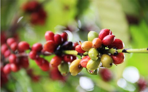 Authentic Hainan's coffee experience in Xinglong and Chengmai