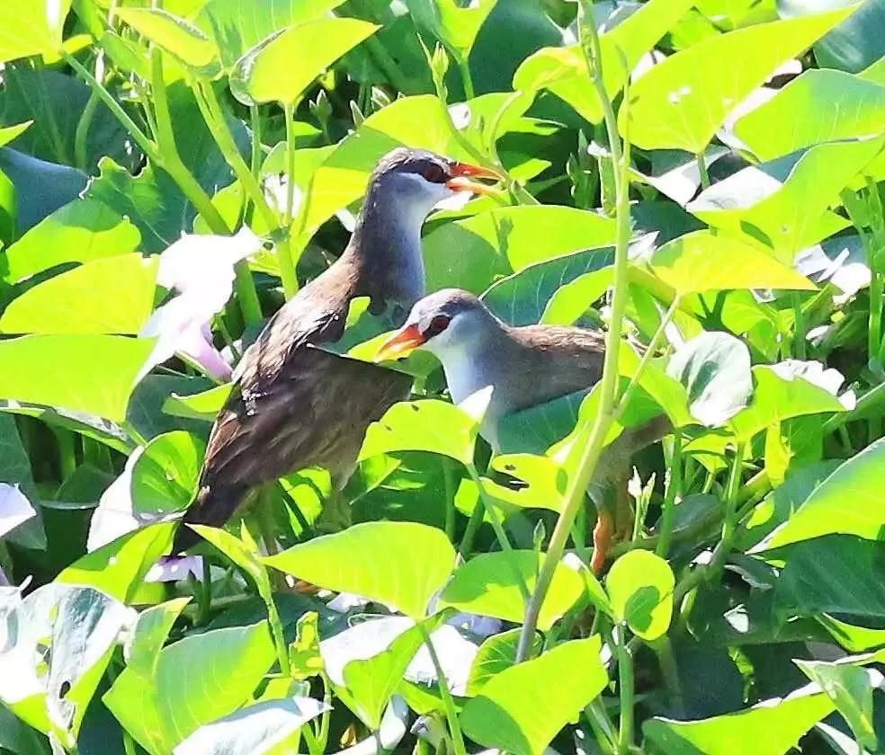 Rare bird species discovered Dong'an Wetland Park in Sanya